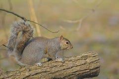 Eastern gray squirrel, sciurus carolinensis Stock Photos