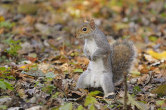 Eastern gray squirrel, sciurus carolinensis Royalty Free Stock Photos