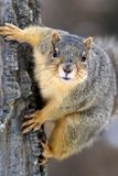 Eastern Gray Squirrel (Sciurus carolinensis) Royalty Free Stock Photos