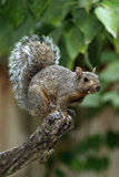 Eastern Gray Squirrel (Sciurus carolinensis) Stock Image