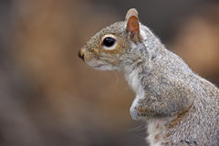 Eastern Gray Squirrel (Sciurus carolinensis). Profile shot Royalty Free Stock Image