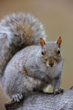 Eastern Gray Squirrel (Sciurus carolinensis) stock images