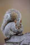 Eastern Gray Squirrel (Sciurus carolinensis). On log Stock Photos