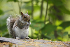 Eastern Gray Squirrel (Sciurus carolinensis). Feeding on a rock with paws together at mouth Stock Image