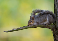 Eastern gray squirrel (Sciurus carolinensis) Royalty Free Stock Images