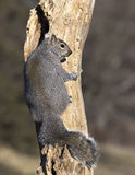 Eastern Gray Squirrel (Sciurus carolinensis). An Eastern Gray Squirrel clings to a stump near a nest hole stock photo