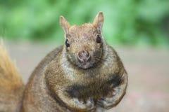 Eastern Gray Squirrel (Sciurus carolinensis) Royalty Free Stock Photos