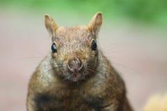 Eastern Gray Squirrel (Sciurus carolinensis) Royalty Free Stock Photo