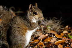 Eastern Gray Squirrel, Sciurus carolinensis Royalty Free Stock Photo