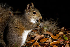 Eastern Gray Squirrel, Sciurus carolinensis Stock Image