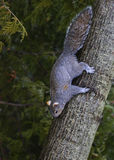 Eastern Gray Squirrel - Sciurus carolinensis Royalty Free Stock Photos