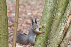 Eastern Gray Squirrel Sciurus carolinensis Royalty Free Stock Photography