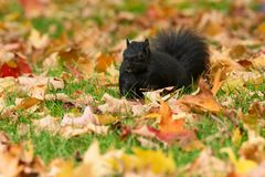 Eastern Gray Squirrel - sciurus carolinensis stock photo