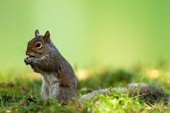 Eastern gray squirrel (Sciurus carolinensis) Stock Images