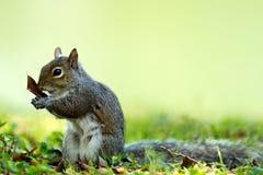 Eastern gray squirrel (Sciurus carolinensis) Stock Image