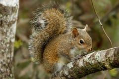 Eastern gray squirrel (Sciurus carolinensis) Royalty Free Stock Image