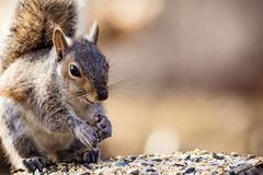 Eastern Gray Squirrel Sciurus carolinensis looks happy and cute in beautiful afternoon light, room for copy royalty free stock photos
