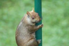 Eastern Gray Squirrel (Sciurus carolinensis) Stock Photo