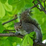 Eastern Gray Squirrel (Sciurus carolinensis) in natural blur background, squirrel sitting on the tree, Eastern Gray Squirrel Royalty Free Stock Photo