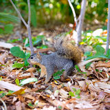 Eastern Gray Squirrel Sciurus carolinensis on park Stock Photo