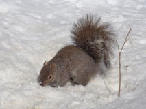 Eastern Gray Squirrel (Sciurus carolinensis) in Snow Stock Image