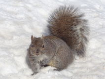 Eastern Gray Squirrel (Sciurus carolinensis) in Snow Royalty Free Stock Photo