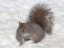 Eastern Gray Squirrel (Sciurus carolinensis) in Snow Royalty Free Stock Photo