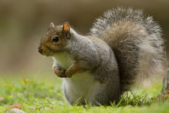 Eastern gray squirrel (Sciurus carolinensis) Royalty Free Stock Images