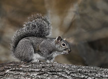 Eastern Gray Squirrel (Sciurus carolinensis) Stock Photos