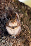 Eastern Gray Squirrel, Sciurus carolinensis Stock Photos