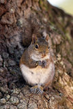 Eastern Gray Squirrel, Sciurus carolinensis Stock Photography