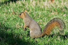 Eastern Gray Squirrel Searching for Acorns. Eastern Gray Squirrel Search for Acorns. Sitting up on his haunches surveying the area Stock Photos