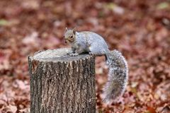 Eastern Gray Squirrel Sitting on a Tree Stump in Fall