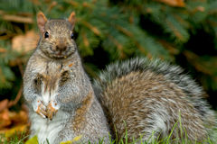 Eastern Gray Squirrel Royalty Free Stock Image