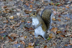 Eastern gray squirrel Royalty Free Stock Photo
