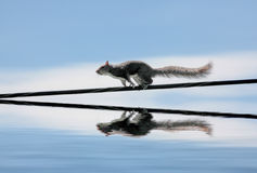 An Eastern Gray Squirrel On A Wire Stock Photography