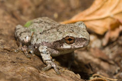 Eastern Gray Tree Frog Royalty Free Stock Photos