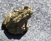 Eastern Gray Tree Frog -  hyla chrysoscelis. This is a Eastern gray tree frog, hyla chrysoscelis, that is living in Morgan County Alabama USA. This is also royalty free stock photos