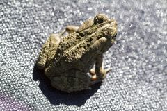 Eastern Gray Tree Frog -  hyla chrysoscelis. This is a Eastern gray tree frog, hyla chrysoscelis, that is living in Morgan County Alabama USA. This is also stock images