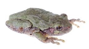 Eastern Gray Treefrog, Hyla versicolor Royalty Free Stock Photo