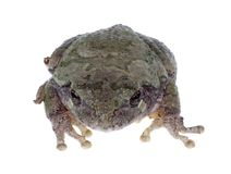 Eastern Gray Treefrog, Hyla versicolor, isolated Stock Photos