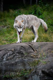 Eastern Gray Wolf Walking on Large Rock Stock Image