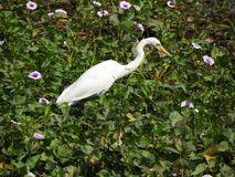 Eastern great egret. Also called as Ardea alba modesta, common egret, large egret or great white egret or great white heron royalty free stock photos