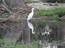 Eastern great egret in pond. Eastern great egret also called as Ardea alba modesta, common egret, large egret or great white egret or great white heron stock image