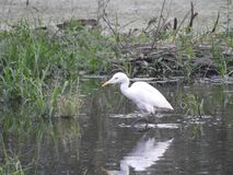 Eastern great egret in pond. Eastern great egret also called as Ardea alba modesta, common egret, large egret or great white egret or great white heron stock photos