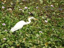 Eastern great egret. Also called as Ardea alba modesta, common egret, large egret or great white egret or great white heron royalty free stock images