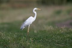 The eastern great egret stock image