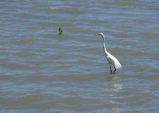 Eastern great egret in shallow water in Cairns royalty free stock photography