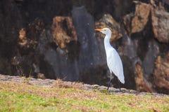 Eastern Great Egret. Or Ardea alba modesta in Sri Lanka royalty free stock images