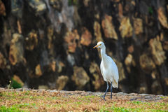 Eastern Great Egret Stock Photo
